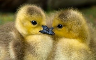 Do you have your fluffy ducks lined up?